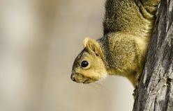 wzgórza kraju wiewiórka Zdjęcia Stock