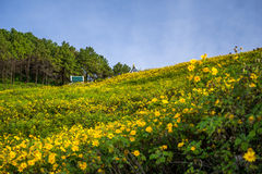 Wzgórze Meksykańskiego słonecznika pole (Dok Buatong) Fotografia Stock