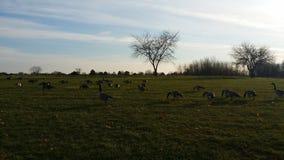 Wzgórze pełno geeses zdjęcie royalty free