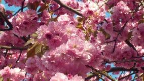 Wzgórze wiśnia, orientalnej wiśni ornamentacyjna owocowa wiśnia, Prunus serrulata Japońskich owoc Japonia nazwany sakuranbo zbiory