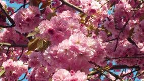 Wzgórze wiśnia, orientalnej wiśni ornamentacyjna owocowa wiśnia, Prunus serrulata Japońskich owoc Japonia nazwany sakuranbo zbiory wideo