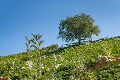 Wzgórze z jabłoniami z pojedynczym drzewem na wierzchołku Zdjęcie Stock