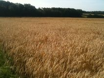Wznoszący toast pszeniczny pole Obrazy Stock