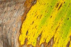 Wzorów i tekstur banana liście, kolorowa zieleń, kolor żółty i suszą Zbliżenie bananowej liść tekstury abstrakcjonistyczny tło se obraz royalty free