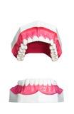 wzorcowy ząb Fotografia Stock