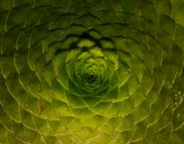 wzory i sekwencje na roślinach, Fibonacci sekwencja, złoty współczynnik obraz royalty free