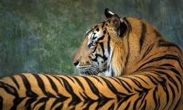 wzory i skóra Indochinese tygrys fotografia stock