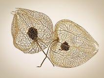 Wzory W naturze - Chiński Latarniowy Seedheads obrazy stock