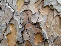 Wzory w Ponderosa sosny barkentynie Obrazy Royalty Free