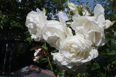 Wzrastał białego kwiatu mokrego fotografia royalty free