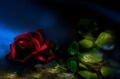 Wzrastał, ciernie, kwiat, światło, studio, królowa kwiaty, wodna kropelka zdjęcie royalty free