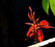 Wzrastał kwiatów liście Fotografia Stock