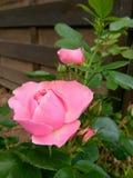 Wzrastał kwiat łamliwości płatek Obrazy Stock