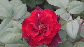 Wzrastał kwiat czerwień zbiory wideo