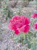 Wzrastał kwiat miłości bardzo dobrych pięknych ładnych romantycznych uroczych kolorów Denise koloru wielkich kolory Zdjęcie Stock