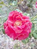 Wzrastał kwiat miłości bardzo dobrych pięknych ładnych romantycznych uroczych kolorów Denise koloru wielkich kolory Obraz Royalty Free