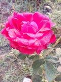 Wzrastał kwiat miłości bardzo dobrych pięknych ładnych romantycznych uroczych kolorów Denise koloru wielkich kolory Obrazy Royalty Free