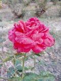 Wzrastał kwiat miłości bardzo dobrych pięknych ładnych romantycznych uroczych kolorów Denise koloru wielkich kolory Zdjęcie Royalty Free