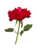 Wzrastał kwiat natury czerwieni róży odizolowywającej na białym tle obrazy royalty free