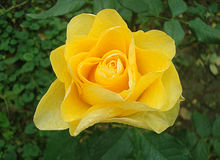 wzrastał kwiatu рР¾ за Obrazy Stock