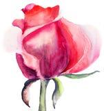 Wzrastał kwiatu Fotografia Stock
