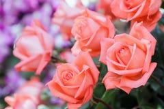 Wzrastał kwiatu i zielenieje liścia tło w różanym kwiatu ogródzie przy pogodnym dniem lata lub wiosny Obrazy Royalty Free