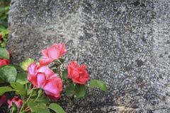 Wzrastał kwiatu nad grunge tłem Zdjęcie Royalty Free