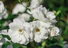 Wzrastał kwiatu stopień schneewittchen, góra lodowa, czyści biali kwiaty Zdjęcie Royalty Free