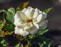 Wzrastał kwiatu stopnia szarotkę, jeden śnieżnobiały Fotografia Stock