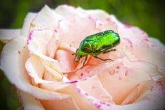 Wzrastał kwiatu tło Fotografia Stock