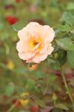 Wzrastał kwiatu w ogródzie Obrazy Stock