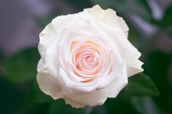 Wzrastał kwiatu z różowymi płatkami po środku ramy z zamazanego zielonego tła odgórnym widokiem zdjęcia stock