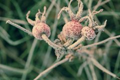Wzrastał liście i biodra zakrywających z hoarfrost makro- zdjęcie royalty free