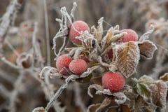 Wzrastał liście i biodra zakrywających z hoarfrost makro- zdjęcia royalty free