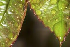 Wzrastał liście z wodnymi kropelkami Zdjęcie Royalty Free