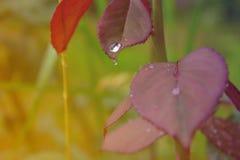 Wzrastał liście z wodnymi kroplami Fotografia Royalty Free