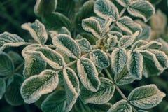 Wzrastał liście zakrywających z hoarfrost makro- fotografia royalty free