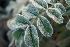 Wzrastał liście zakrywających z hoarfrost makro- obrazy royalty free