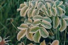 Wzrastał liście zakrywających z hoarfrost makro- obraz royalty free