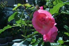 Wzrastał menchia kwiatu zdjęcia royalty free