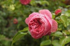 Wzrastał menchia kwiatu mokre wodne krople fotografia stock