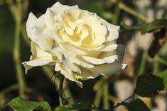 Wzrastał okwitnięcie w kolorze żółtym Zdjęcia Royalty Free