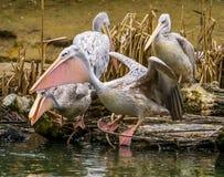 Wzrastał podpartą pelikan pozycję przy wodną stroną i podesłanie swój skrzydła, ptak gotowy dla zdejmuje, pelikana rodzinny portr fotografia stock
