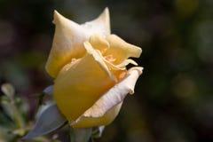 wzrastał pojedynczego kolor żółty zdjęcia stock