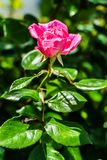Wzrasta?, R??owi, Uprawia ogr?dek, kwiaty obrazy royalty free
