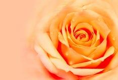 Wzrastał tło kwiecisty abstrakcyjne Kwiat z wodnymi kroplami Zdjęcie Stock