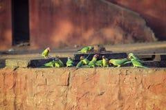 Wzrastał Upierścienione papugi Fotografia Stock