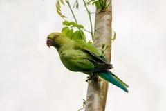 Wzrastał upierścienionego parakeet, Psittacula krameri Zdjęcia Stock