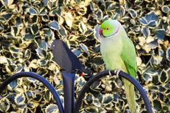 Wzrastał Upierścienionego Parakeet Psittacula krameri zdjęcie stock
