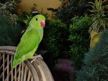 Wzrastał Upierścienionej papugi zdjęcie royalty free